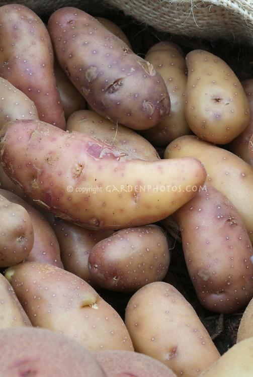 Potatoes Harlequin