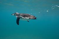 Galapagos penguin, underwater, swimming. Bartolome Island, Galapagos, Ecuador, Spheniscus mendiculus, Galapagos, Ecuador (E. Pacific Ocean)