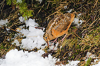 American Woodcock - Scolopax minor.  An upland shorebird that uses its long bill to probe the forest floor for food. Snow still in forest  greets Spring migrant  in Nova Scotia, Canada.