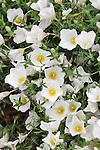 SUMMER SPLASH COMPACT WHITE CUPFLOWER, NEIREMBERGIA HIPPOMANICA