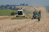 Forage harvesting whole-crop wheat for feeding dairy cows, near Clitheroe, Lancashire.Alkalage,
