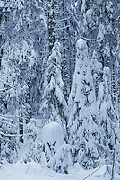 Norway spruce, Picea abies, with snow, Oberaegeri , Switzerland, Europe