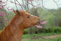 Horse eating redbud flowers in spring pasture