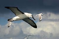 Indian Yellow-nosed Albatross in flight off Wollongong