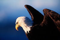 Profile portrait of the head and arched wings of a Bald eagle (H. Leucocephalus).