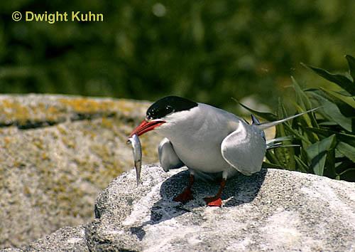 MC82-009z  Arctic Tern - adult with fish - Machias Seal Island, Bay of Fundy - Sterna paradisaea