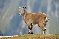 Alpine Ibex (Capra ibex), young, Niederhorn, Interlaken, Switzerland, Europe