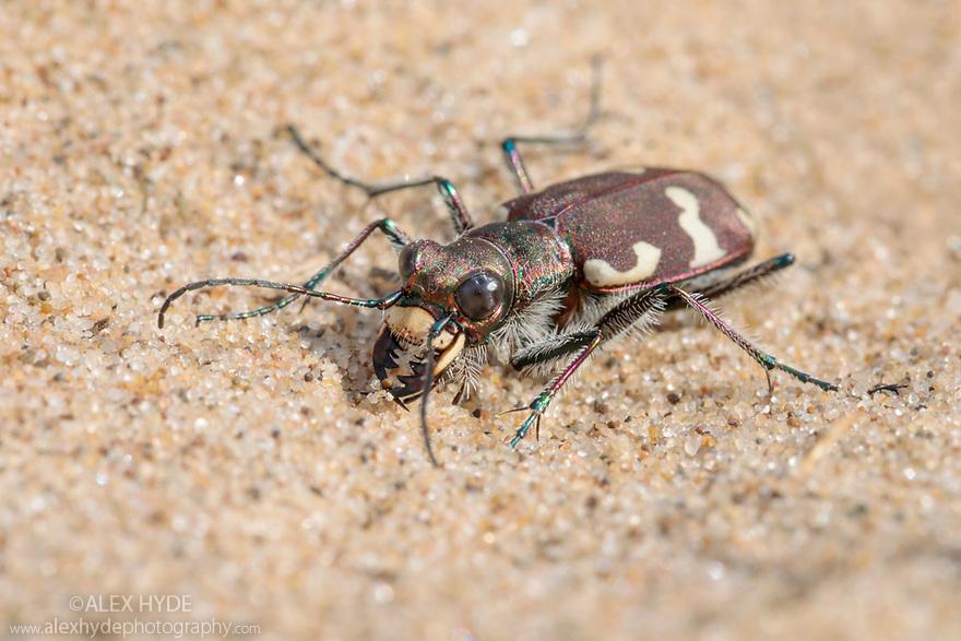Northern Dune Tiger Beetle (Cicindela hybrida) on dune system at Ainsdale Nature Reserve, Merseyside, UK. May. Photographer: Alex Hyde