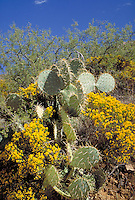 Against the green background of the mesquite bush and blue sky, this Prickly Pear Cactus (Opuntia) is surrounded by yellow flowering Turpentine Weed (Gutierrezia sarothrae). Arizona.