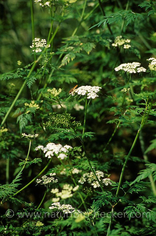Hundspetersilie, Hunds-Petersilie, Acker-Hundspetersilie, Aethusa cynapium, Dog Poison, Fool´s Parsley