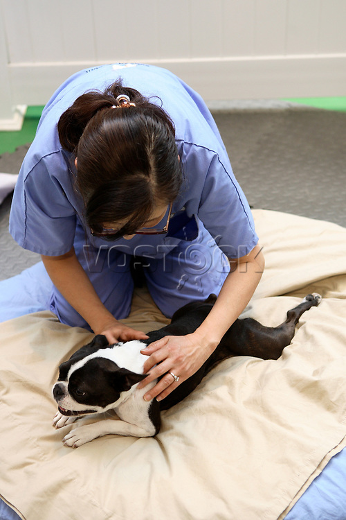 Yuko, a certified canine massage therapist gives a massage to a Boston Terrier dog at the Wag Hotel in San Francisco, CA, on Sunday, May 13, 2007. The Wag hotel, a luxury resort for dogs, opened in San Francisco on Saturday, May 12, 2007. It offers over 230 rooms and suites specifically designed for its four-legged guests as well as spa services such as pedicures, facials, massage and grooming. <br /> <br /> <br /> <br /> <br /> <br /> (Bildtechnik: sRGB, <br /> <br /> 24.97 MByte vorhanden)
