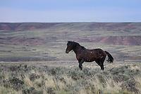Wild Horse, McCullough Peaks Range, Cody, WY