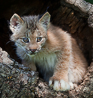 Canada Lynx Kitten peering out of a tree stump - CA
