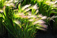 """""""BLOWING IN THE WIND""""<br /> <br /> Grass waving in the wind in Alberta Canada"""