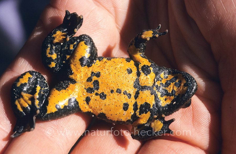 Gelbbauchunke, Gelbbauch-Unke, Bergunke, auf der Hand, Unterseite mit Warnfarben, Unke, Unken, Bombina variegata, yellow-bellied toad, yellowbelly toad, variegated fire-toad