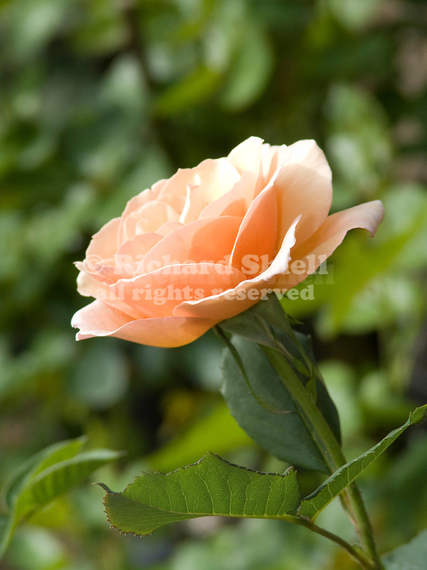 Gruss an Coburg rose, Rosa Hybrid Tea
