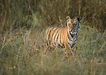 Bengal Tiger cubs (Panthera tigris tigris) - around 3.5 months old - walking through long grass. Bandhavgarh National Park, Madhya Pradesh, India.