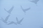 Sandhill cranes in flight on a early foggy morning in Nebraska