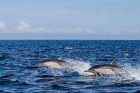 long-beaked common dolphins, Delphinus capensis (formerly lumped with short-beaked common dolphin, Delphinus delphis), jump sequence #1 of 3 off San Diego, California, USA, (Eastern Pacific Ocean)