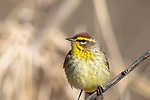 Palm warbler in northern Wisconsin.