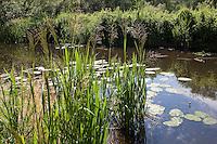 Wasser-Schwaden, Großer Schwaden, Riesen-Schwaden, Wasserschwaden im Uferbereich eines Gewässers, Glyceria maxima, Reed Sweet Grass, Reed Mannagrass, Reed Sweetgrass