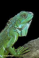 1R10-010z  Iguana - from Central America - Iguana iguana