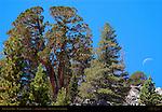 Split Cedar Moon, Mammoth Mountain, Eastern Sierras, Mono County, California