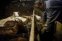 'Lulu', Lucian Blanc, producer of goats cheese, feeds his goats, Bonneval sur Arc, Savoie, France, 16 February 2012