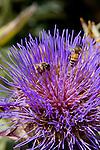 HONEY BEES, APIS MELLIFERA, POLLENATE CYNARA CARDUNCULUS, CARDOON