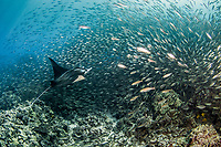 reef manta ray, Mobula alfredi, swimming through a school of bigeye scads, or akule, Selar crumenophthalmus, Kona Coast, Big Island, Hawaii, USA, Pacific Ocean