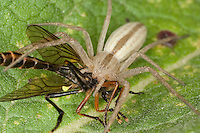 Gras-Spinne, Grasspinne, Laufspinne mit erbeutetem Insekt, Tibellus oblongus, Grass spider, Laufspinnen, Philodromidae, running crab spiders, philodromids, philodromid spiders