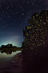 Synchronous Fire Flies (genus Pteroptyx, family Lampyridae) blinking in unison. Mangroves along the Kinabatangan River, Sabah, Borneo.