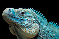 Iguanidae Cyclura lewisi, blue iguana or Grand Cayman iguana c, Caribbean Sea, Atlantic Ocean