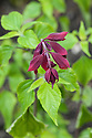 Salvia splendens 'Van-Houttei', mid June.