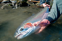 Fly angler holds a female steelhead (Oncorhynchus mykiss), Skeena River, British Columbia, Canada.