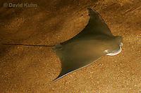 0130-08qq  Cownose ray, Rhinoptera bonasus © David Kuhn/Dwight Kuhn Photography
