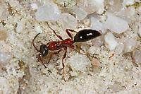Rollwespe, Trugameise, Methocha ichneumonides, Rollwespen, Tiphiidae