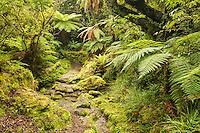 Copland track through native, lush green rainforest in Copland Valley, Westland National Park, West Coast, South Westland, World Heritage Area, New Zealand, NZ