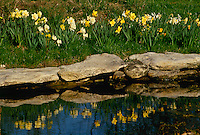 Garden fish pool in private yard offers serene reflection of spring daffodils and the sky above. Rock edge creates a