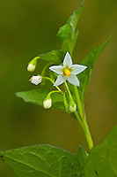Schwarzer Nachtschatten, Solanum nigrum, Black Nightshade, Common Nightshade