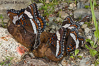 """0704-0801  Group of White Admiral Butterfly """"Drinking Moisture from Animal Feces"""", Limenitis arthemis """"Northeast United States Form""""  © David Kuhn/Dwight Kuhn Photography"""