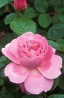 Rose 'Mary Rose' pink hybrid tea (Rosa) in full bloom, with rosebud partial at top