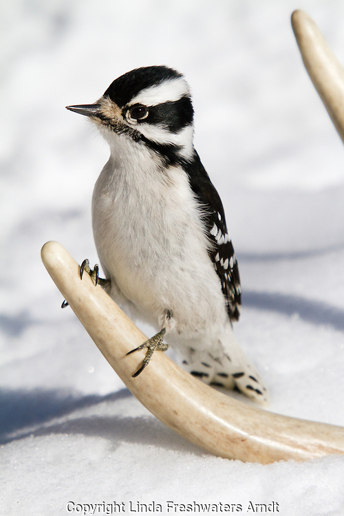 Downy woodpecker perched on a shed deer antler