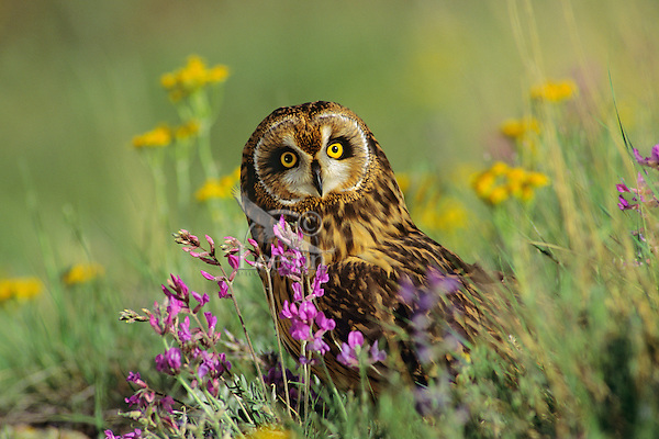 Short-eared Owl (Asio flammeus) among wildflowers, Western U.S., spring.