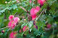 Dusky Honeyeater, Daintree River, Queensland, Australia