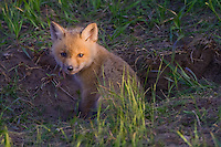Red Fox Kit sitting just outside its den in the late evening light