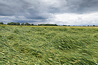 11-7-2021 Lodged Winter barley <br /> ©Tim Scrivener Photographer 07850 303986<br />      ....Covering Agriculture In The UK....
