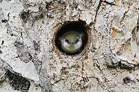 Violet-green Swallow,Tachycineta thalassina,adult in nesting cavity in pine tree, Rocky Mountain National Park, Colorado, USA, June 2007