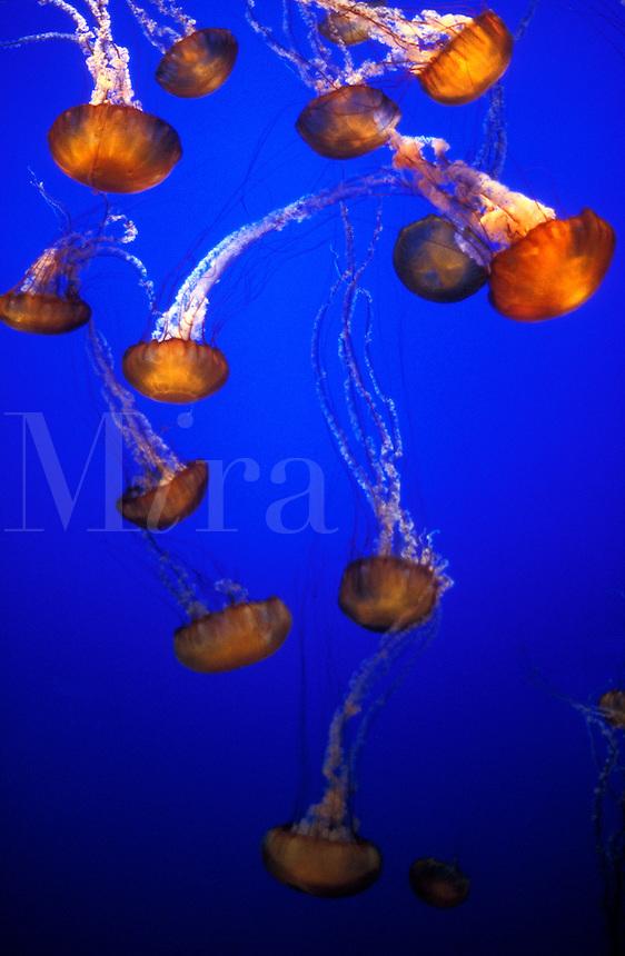 USA, California, Monterey, Monterey Aquarium, Jelly Fish,Black Sea Nettle