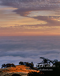 Cypress, Bolinas Ridge, Mount Tamalpais State Park, Golden Gate National Recreation Area, Marin County, California